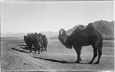 Camel ridden by Dalai Lama on return to Lhasa in 1909