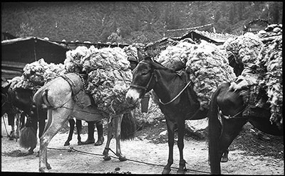 Mules laden with wool