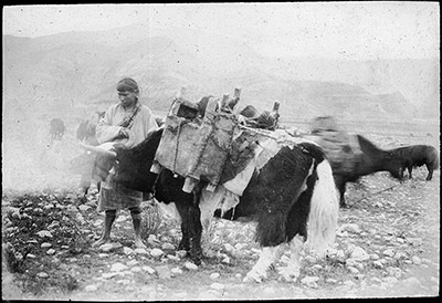 Yak carrying two small children