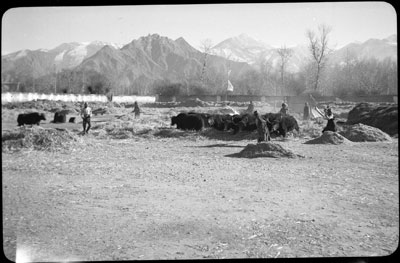 Threshing barley in Lhasa