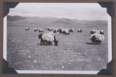 Yaks laden with wool to sell in India