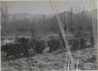 Yaks treading out barley outside Lhasa