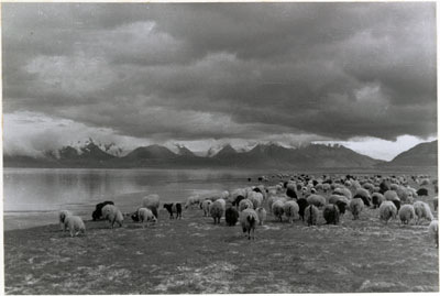 Sheep by Dochen lake